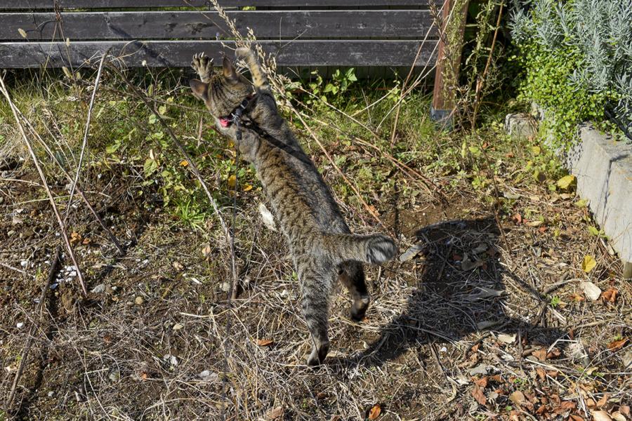 蝶を捕まえるキジトラ猫の虎ノ介