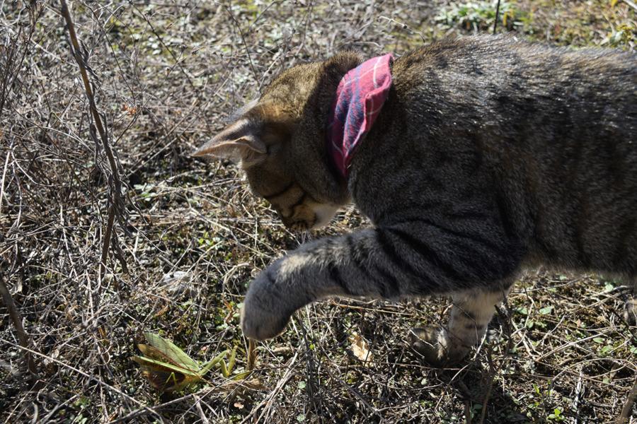 カマキリとキジトラ猫の虎ノ介