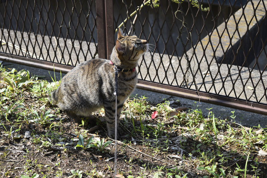 トンボを見つめるキジトラ猫の虎ノ介