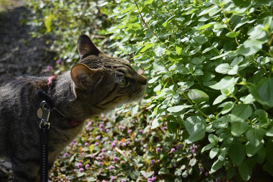 お庭のくさをクンカクンカするキジトラ猫の虎ノ介