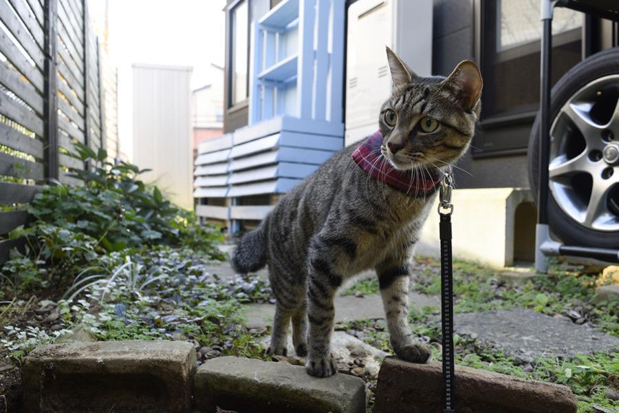大きな犬を見つけて家の裏庭まで逃げ帰ってきたキジトラ猫の虎ノ介