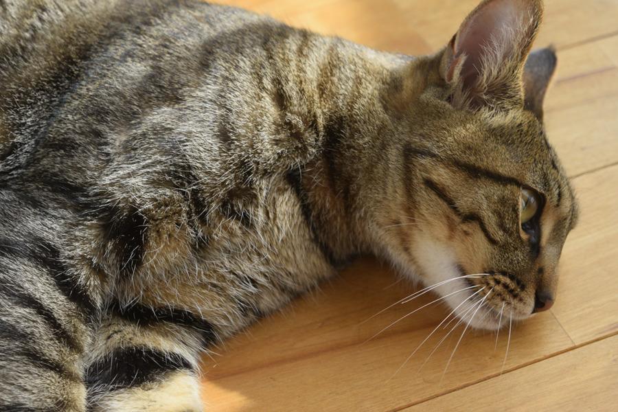 ブラッシングを満喫するキジトラ猫の虎ノ介