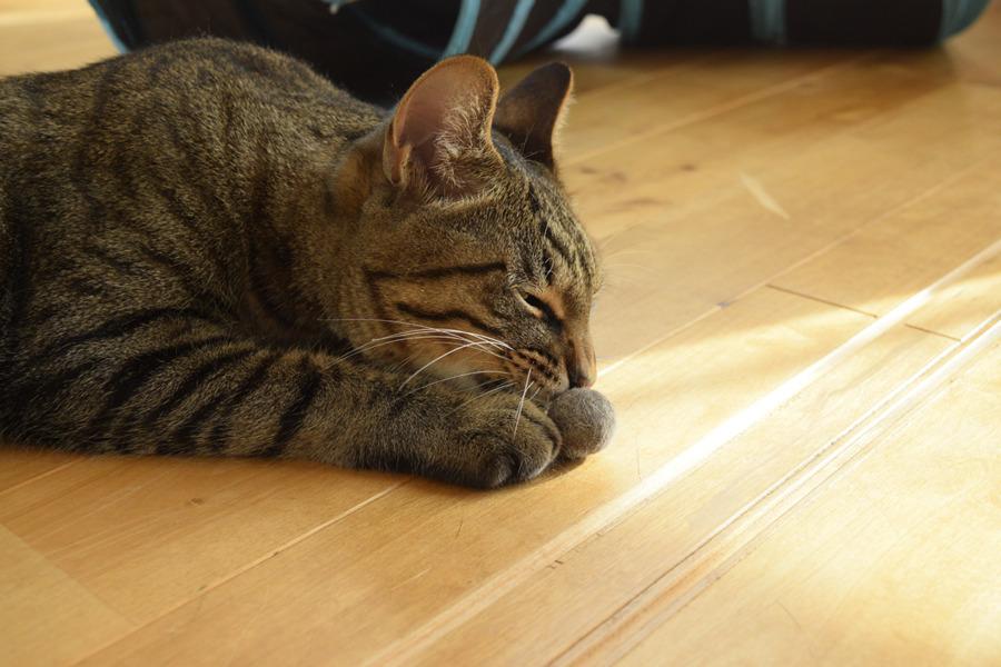 出来上がった毛玉ボールのチェックをするキジトラ猫の虎ノ介