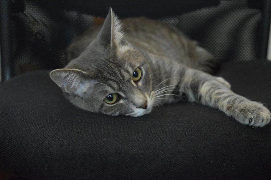 椅子の上でふてくされるサバトラ猫の春太
