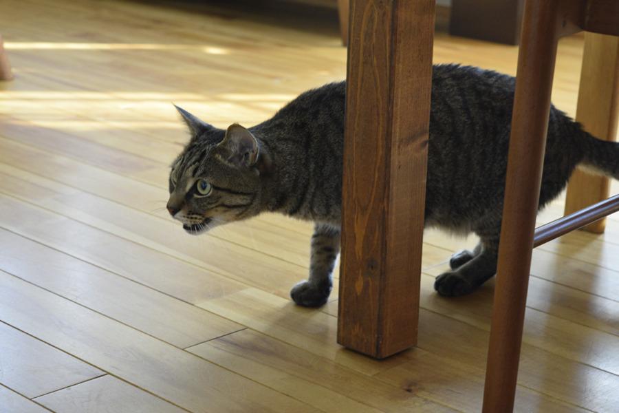 サバトラ猫の春太を威嚇するキジトラ猫の虎ノ介