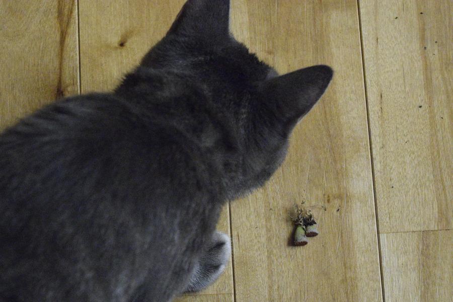 リトープスで遊ぶサバトラ猫の春太