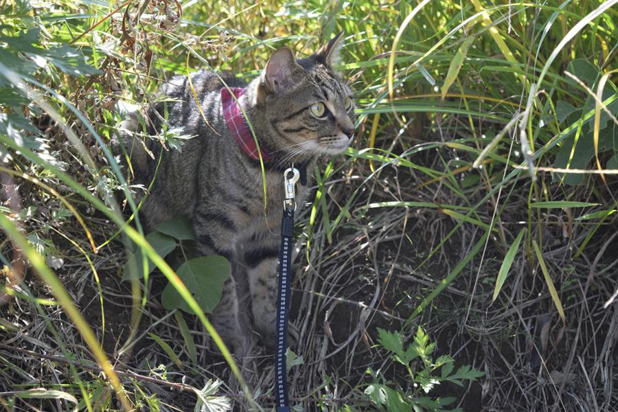 草むらで遊ぶキジトラ猫の虎ノ介