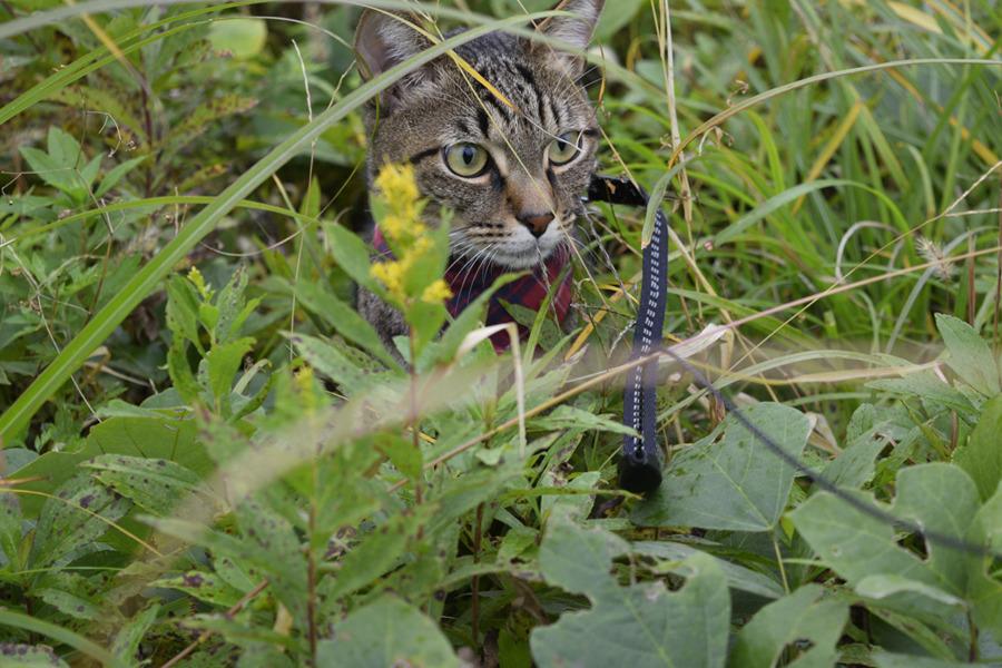 草むらで野良猫さんを探すキジトラ猫の虎ノ介