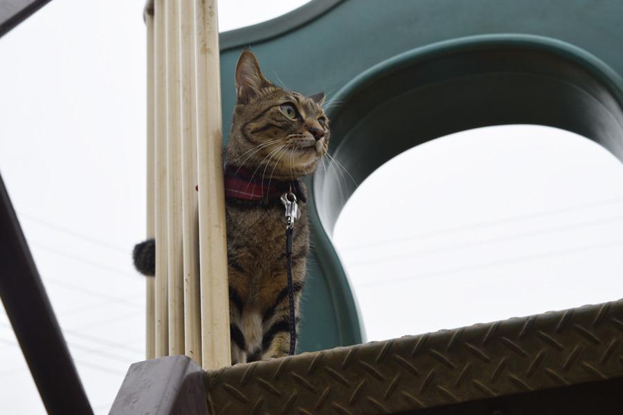 滑り台に登るキジトラ猫の虎ノ介