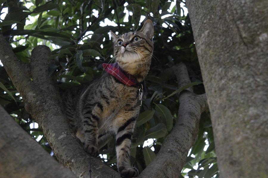 鳥をおいかけて木に登るキジトラ猫の虎ノ介