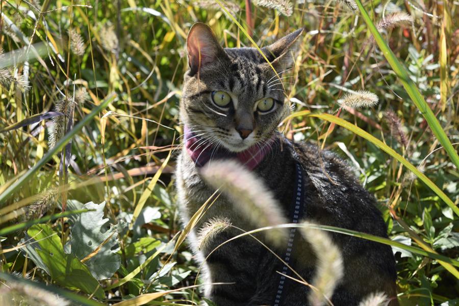 野良猫さんを探すキジトラ猫の虎ノ介