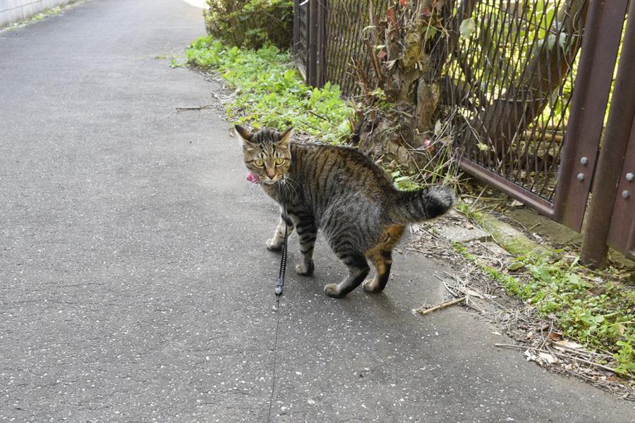 風に舞う枯れ葉に驚くキジトラ猫の虎ノ介