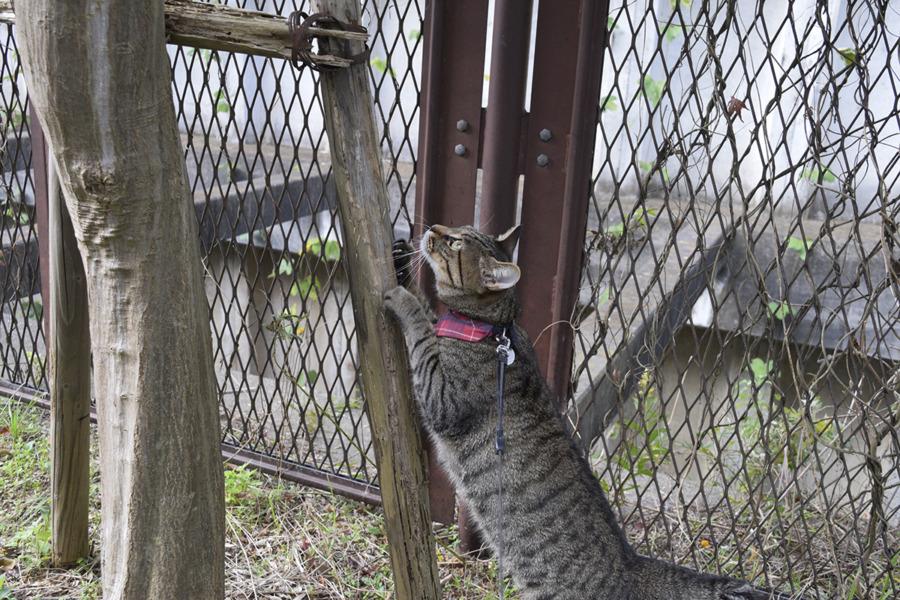 爪とぎをするキジトラ猫の虎ノ介