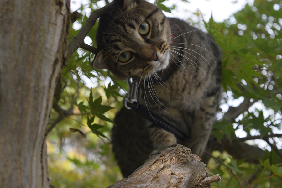 足をすべらせたキジトラ猫の虎ノ介