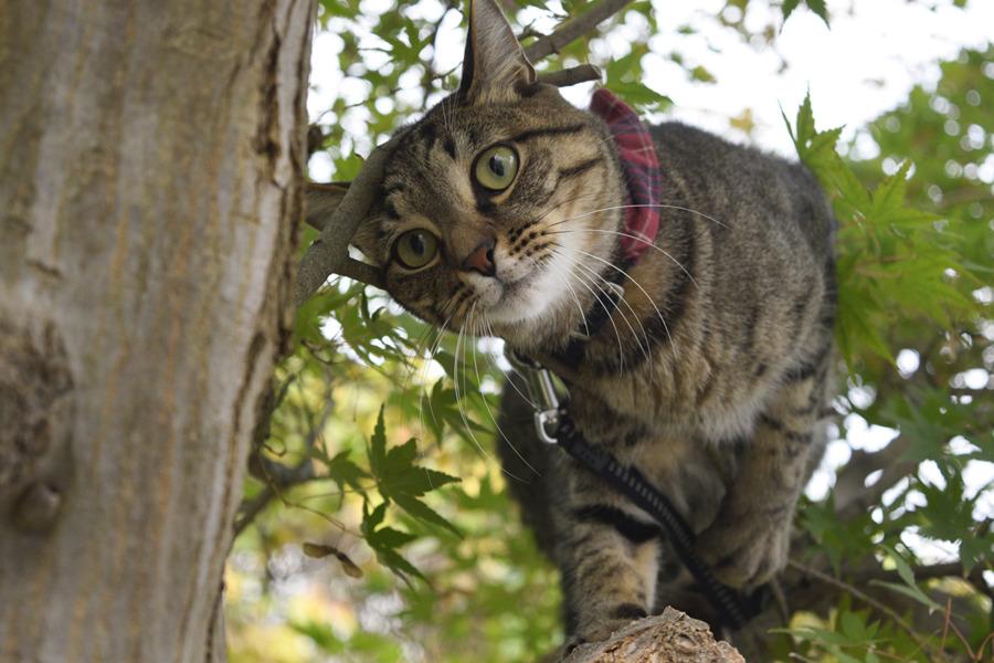 体勢を立て直すキジトラ猫の虎ノ介