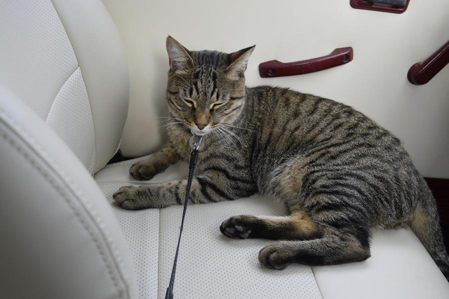 車で昼寝をするキジトラ猫の虎ノ介