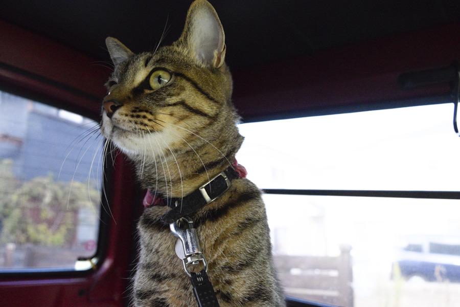 車から鳥をみるキジトラ猫の虎ノ介