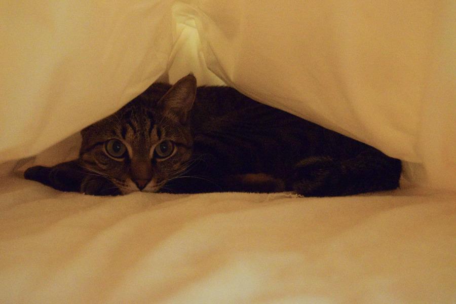 布団にもぐって寝るキジトラ猫の虎ノ介