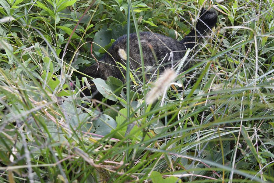 何かを捕まえたキジトラ猫の虎ノ介
