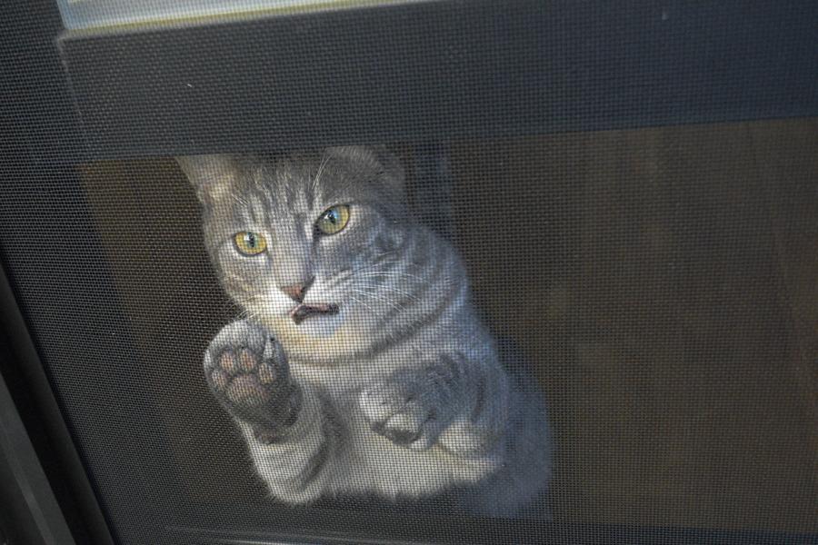 キジトラ猫の虎ノ介にたたかれるサバトラ猫の春太