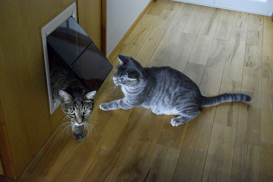 トイレの前でキジトラ猫の虎ノ介を待つサバトラ猫の春太