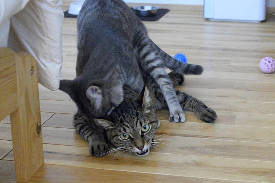 春太にじゃれつかれるキジトラ猫の虎ノ介