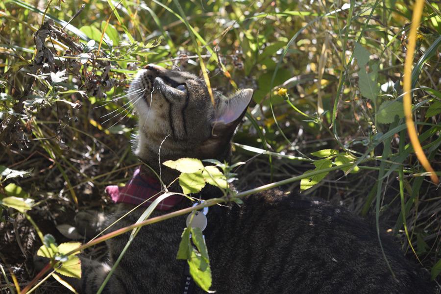 草むらから鳥を見上げるキジトラ猫の虎ノ介