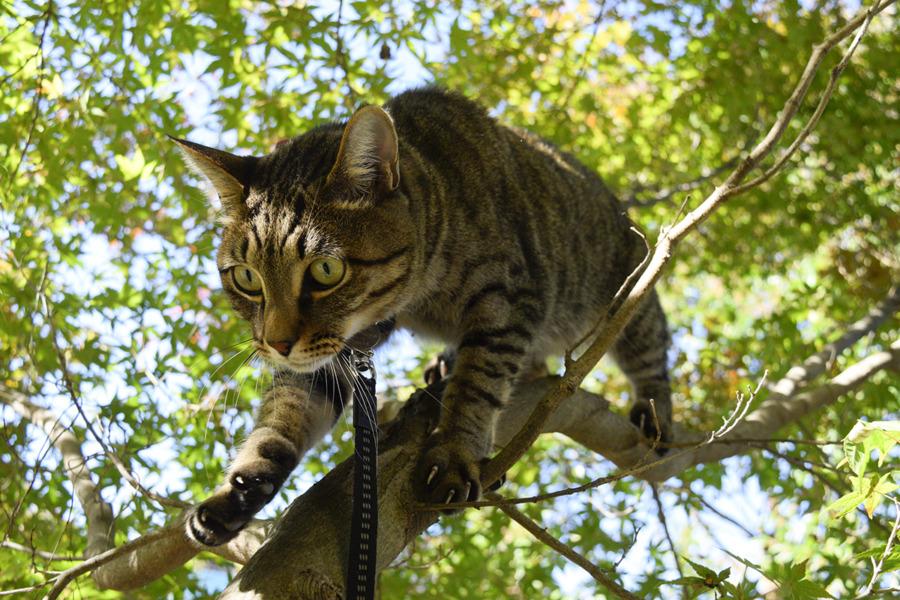 鳥を探して木登りするキジトラ猫の虎ノ介