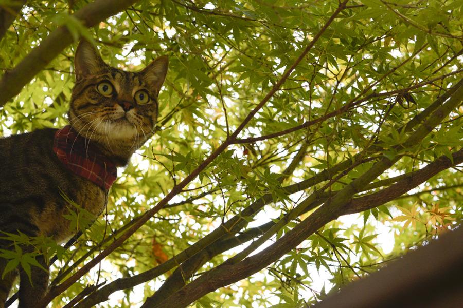 木に登って鳥を探すキジトラ猫の虎ノ介
