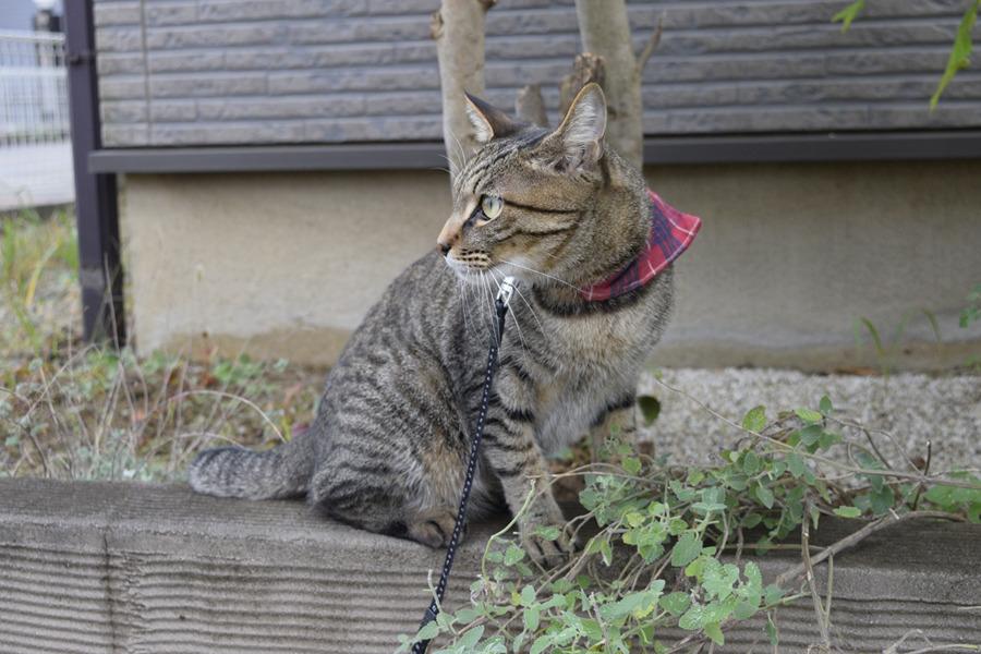 別荘を訪問するキジトラ猫の虎ノ介