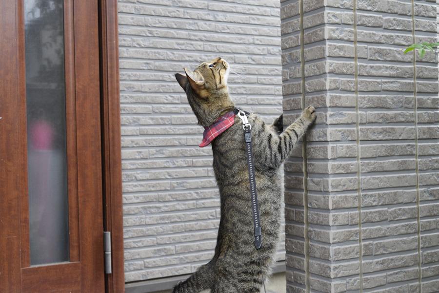 玄関先をチェックするキジトラ猫の虎ノ介
