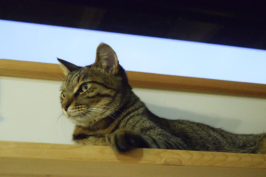 春太を見つめるキジトラ猫の虎ノ介