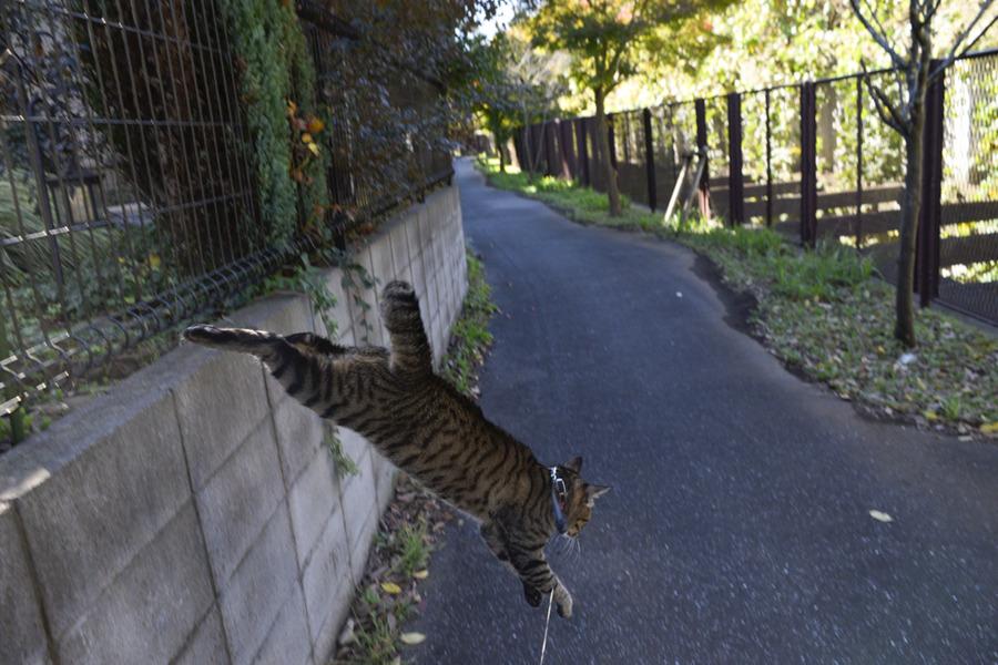 フェンスから飛び降りるキジトラ猫の虎ノ介