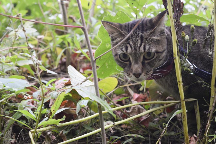 雨の中草むらを探索するキジトラ猫の虎ノ介