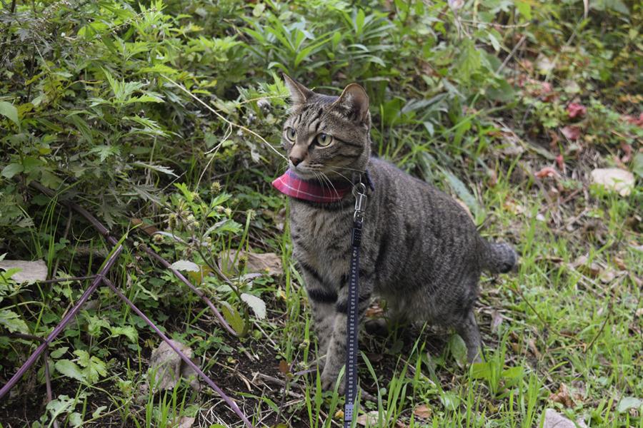 雨の中草むらを散歩するキジトラ猫の虎ノ介