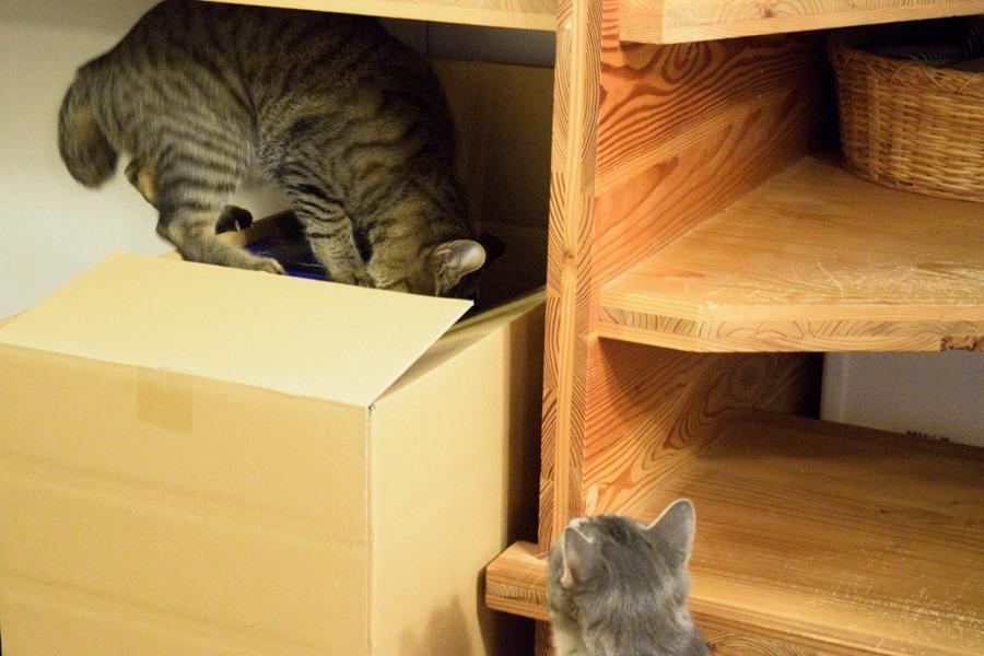 段ボールを覗くキジトラ猫の虎ノ介