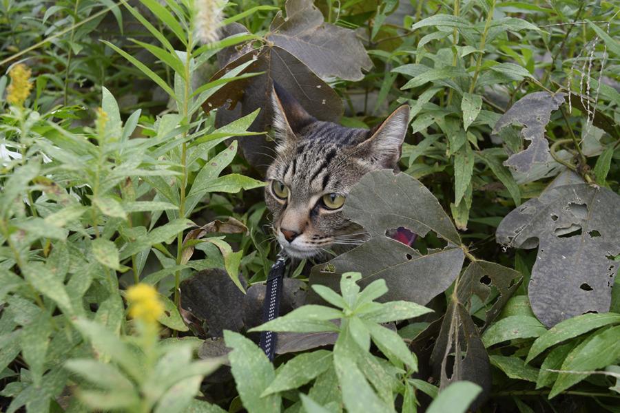 草の中にもぐるキジトラ猫の虎ノ介