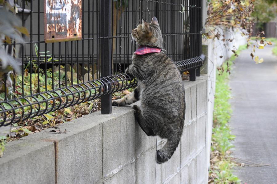 鳥を見るのにフェンスに登るキジトラ猫の虎ノ介