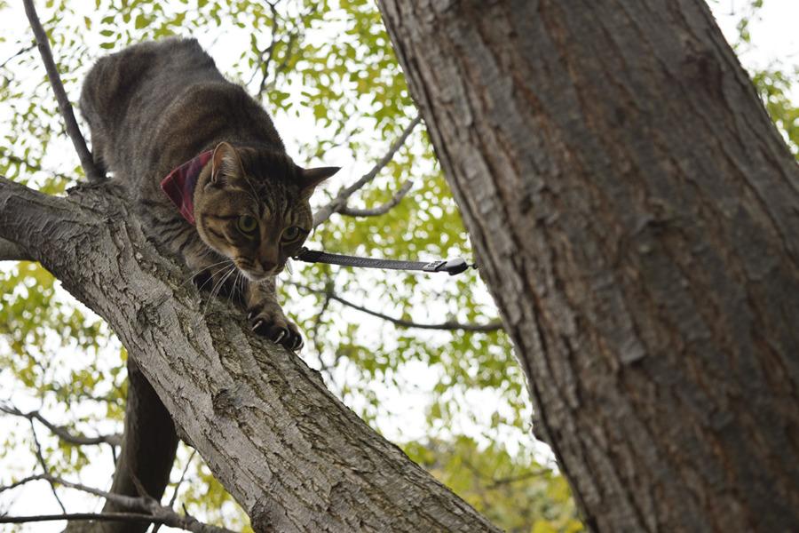 木から降りるキジトラ猫の虎ノ介