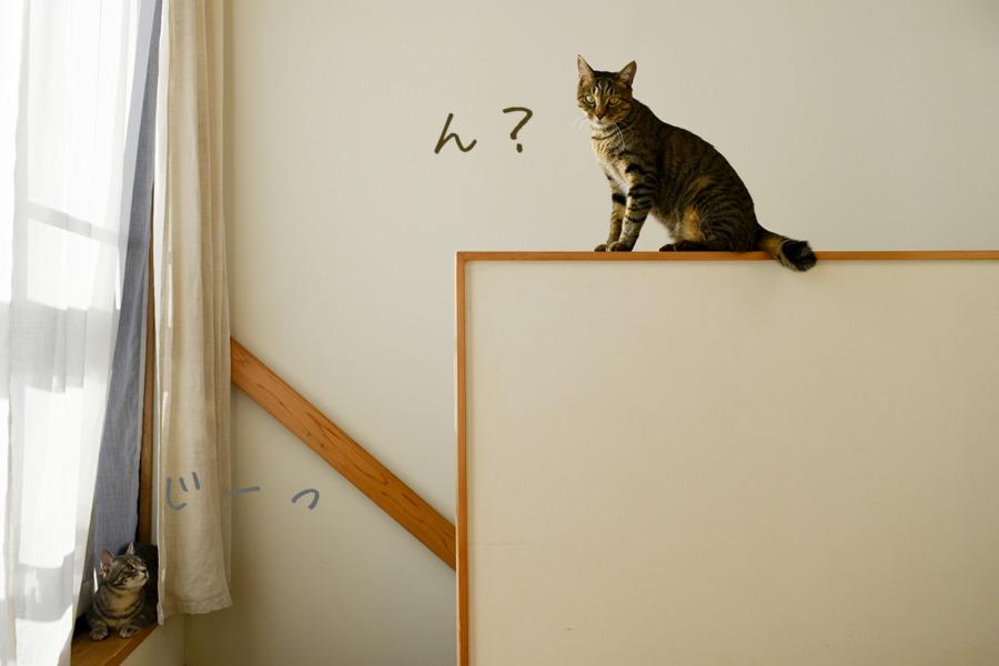 キジトラ猫の虎ノ介を見つめるサバトラ猫の春太