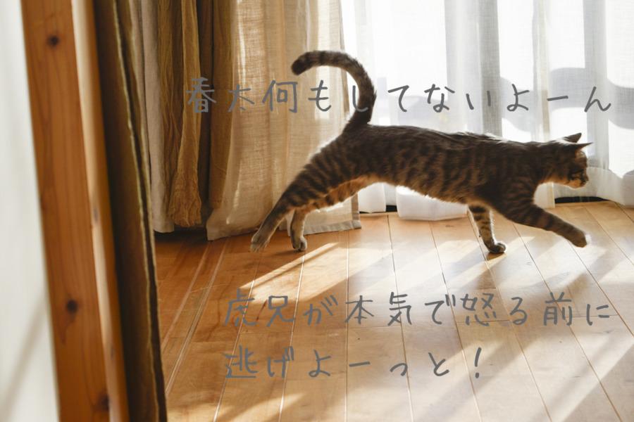 逃げるサバトラ猫の春太