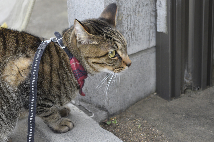 ジトラ猫の虎ノ介