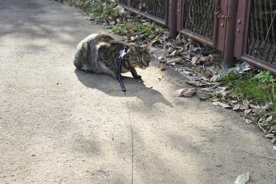 野良猫を見つめるキジトラ猫の虎ノ介