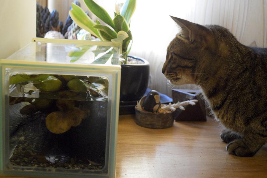 メダカを眺めるキジトラ猫の虎ノ介