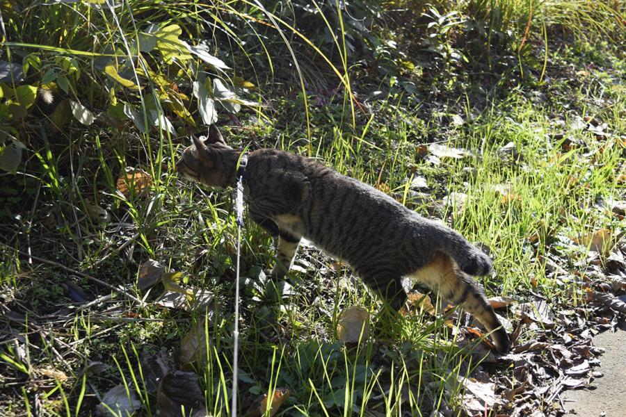 草むらをのぞき込むキジトラ猫の虎ノ介