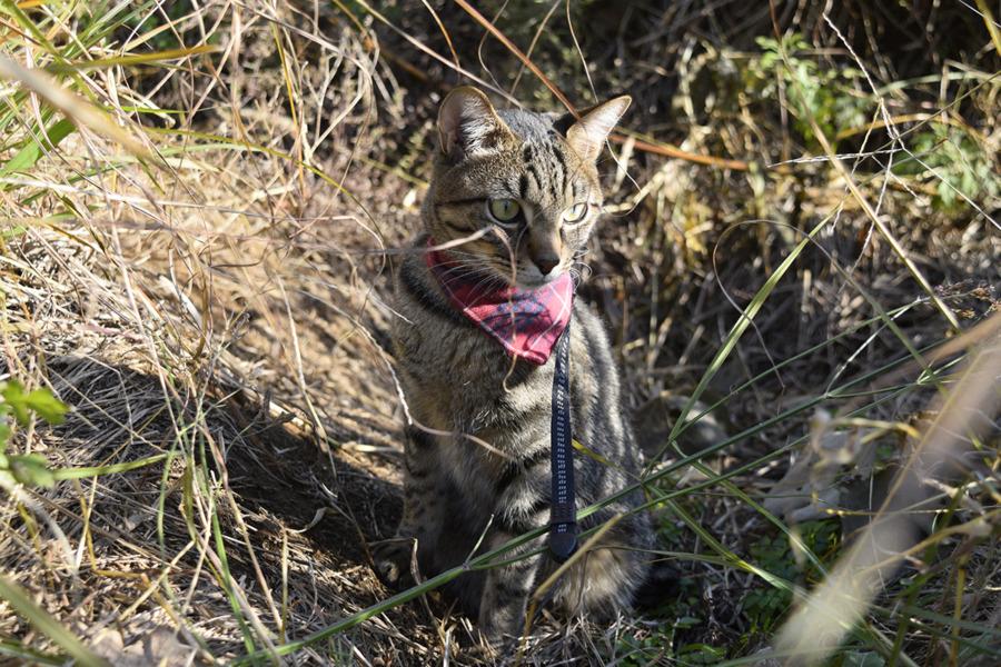 草むらで待機するキジトラ猫の虎ノ介