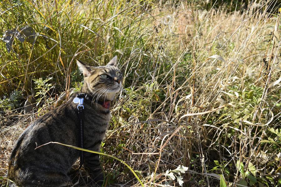 草むらから飛び立つ鳥をみるキジトラ猫の虎ノ介