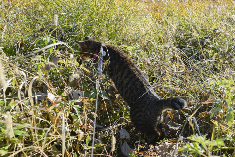 草むらの中を覗くキジトラ猫の虎ノ介
