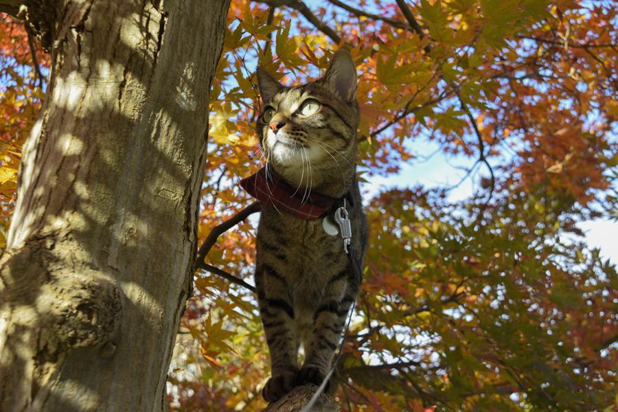 紅葉した木に登って鳥を見るキジトラ猫の虎ノ介