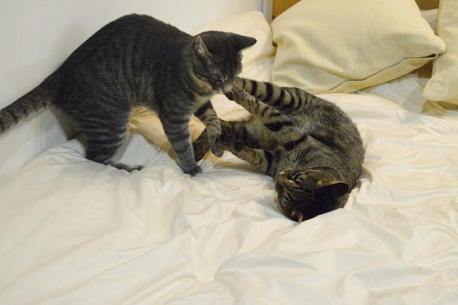 寝ながら春太とじゃれるキジトラ猫の虎ノ介